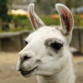 Face of lama closeup — Stock Photo