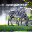 Zebrin zoo — Stock Photo #9490624