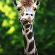 Head of giraffe — Stock Photo #9490679