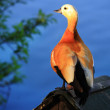 Stock Photo: Duck (Ruddy shelduck)