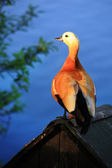Duck (Ruddy shelduck) — Stock Photo
