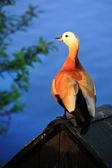 Duck (Ruddy shelduck) — Stock Photo