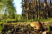 Cep in forest — Stock Photo