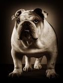 English bulldog studio portrait — ストック写真