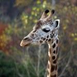 Head of giraffe — Stock Photo #9418917