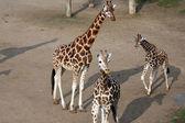 Grupo de jirafas — Foto de Stock