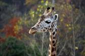 Cabeza de jirafa — Foto de Stock