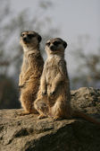 Meerkats sitting on the stone — Stock Photo
