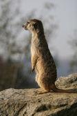 Meerkat standing on the stone — Stock Photo
