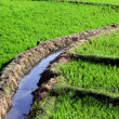Rice Field with Irrigation — Stock Photo