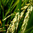 Rice Stalks — Stock Photo #9560218