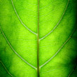 Big Green Leaf — Stock Photo #9738326