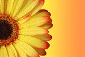 Gerber Daisy — Stock Photo