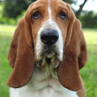 Basset Hound — Stock Photo #9415236