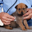 Puppy at vet — Stock Photo #9664317