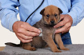 Puppy at vet — Stock Photo