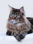 Maine Coon cat — 图库照片