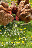 Poultry in field — Stock Photo