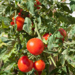 Growth tomato — Stock Photo #10041944