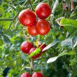Growing ripe Tomatoes — Stock Photo #10068282