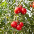 Ripe Tomatoes — Stock Photo #10068297
