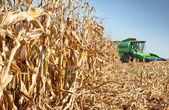 Harvest corn — Stock Photo