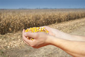 Corn harvest — Stockfoto