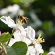Bees in apple blossom — Stock Photo