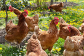 Hens in the meadow — Stock Photo