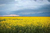 Rapeseed field — Stock Photo