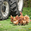 Poultry farmyard - Stock Photo