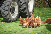 Poultry farmyard — Stock Photo