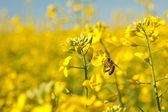 Bee and oilseeds flower — Stock Photo