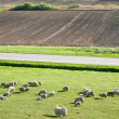 Sheep on meadow — Stock Photo #10480765