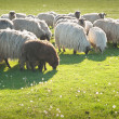 Sheep on meadow — Stock Photo #10480970