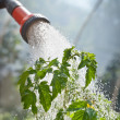 Watering seedling tomato — Stockfoto