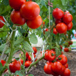 Growth tomato — Stock Photo #9405493