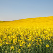 Foto de Stock  : Yellow field rapeseed