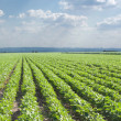 SoybeField Rows — Stock Photo #9450291