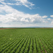 Soy field — Stock Photo