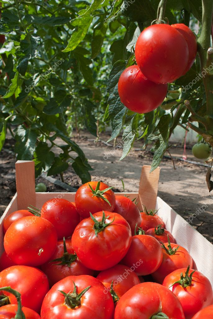 Ripe tomatoes ready for picking  Stock Photo #9450316