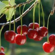 Cherries on the Tree — Stock Photo
