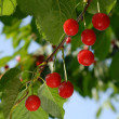 Ripe cherries on the branch — Stock Photo