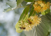 Bees on linden flower — Stock Photo