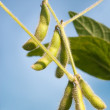 Close up of the soy bean — Stock Photo #9505762