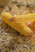 Soybean and mealie — Stock Photo
