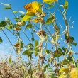 Stock Photo: Growth soy bean