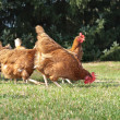 Hen outside in meadow — Stock Photo #9513518