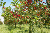 Cherries orchard — Stock Photo