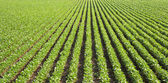 Soybean field with rows — Stock Photo